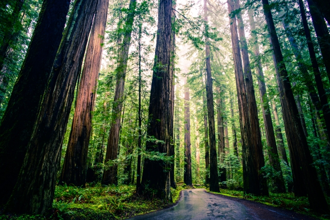 """Redwoods"" by Michael Balint (cc-by)"